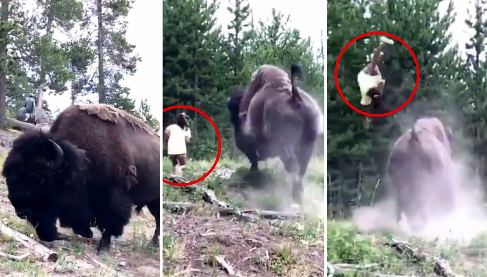 Bisonte attacca una bambina e la lancia in aria a Yellowstone