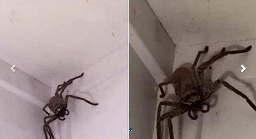 Incredibile Ragno Gigante invade una casa in Australia.